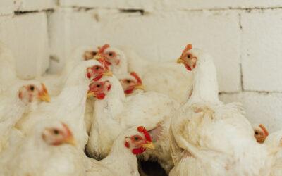 Avicultura: setor será beneficiado com laboratório no Maranhão